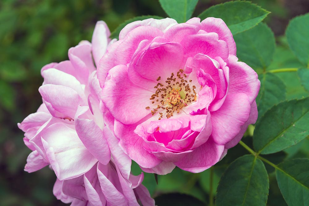 Aquesta primavera, nodreix a fons la pell amb la rosa d'Alexandria!