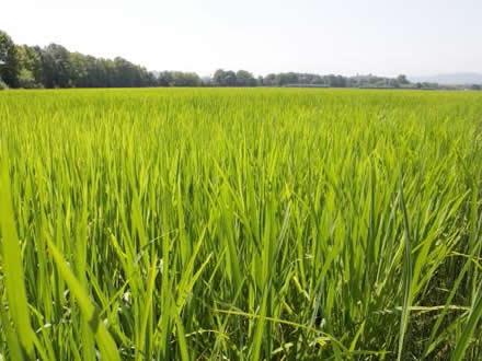 foto Estany de Pals: arròs assecat al caliu del sol - 4