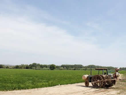 foto Estany de Pals: arròs assecat al caliu del sol - 5