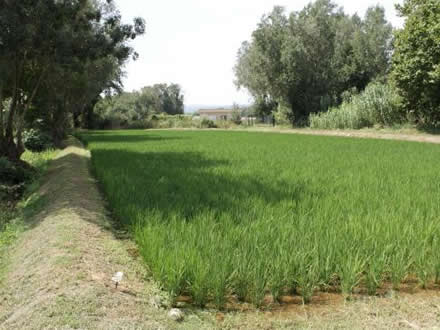 foto Estany de Pals: arròs assecat al caliu del sol - 6