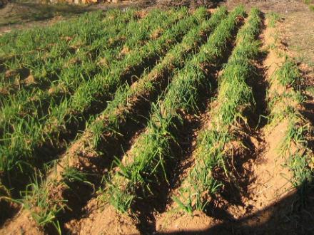 foto Ecocalçots: agroecològics per convicció - 5