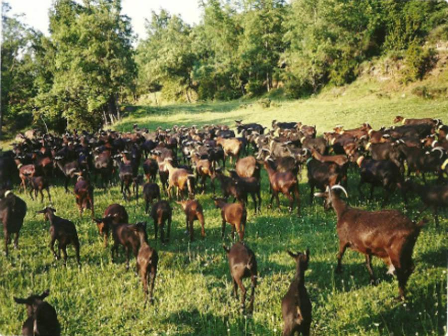 foto Puigcerver: l'aposta pel formatge de cabra ecològic - 3