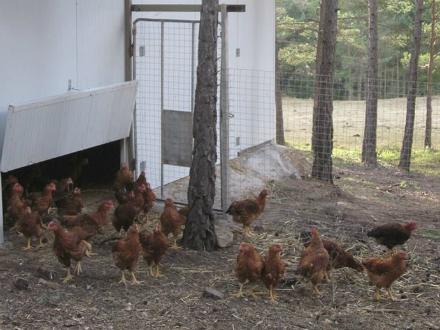 foto Cal Roio: pollastre agroecològic al Berguedà - 3