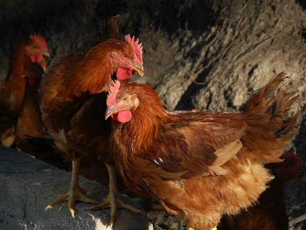 foto Cal Roio: pollastre agroecològic al Berguedà - 4