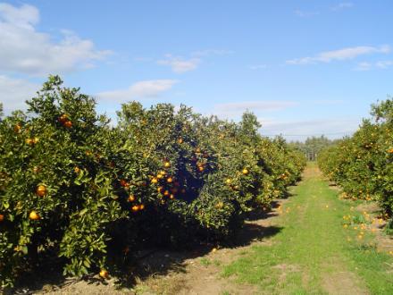 foto SAT Varsella: taronges i mandarines ecològiques, de l'Ebre! - 3