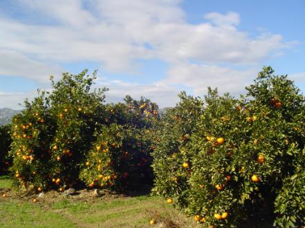 foto SAT Varsella: taronges i mandarines ecològiques, de l'Ebre! - 2