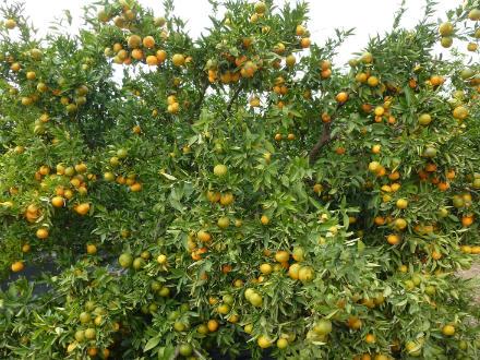 foto SAT Varsella: taronges i mandarines ecològiques, de l'Ebre! - 6