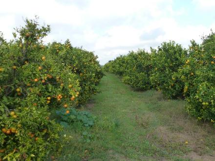 foto SAT Varsella: taronges i mandarines ecològiques, de l'Ebre! - 7