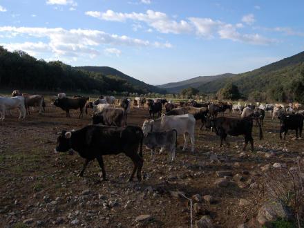 foto La vaca de l'Albera: autòctona, rústica i molt saborosa - 1