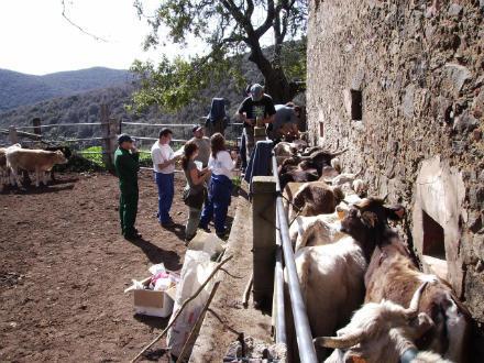 foto La vaca de l'Albera: autòctona, rústica i molt saborosa - 4