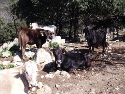 foto La vaca de l'Albera: autòctona, rústica i molt saborosa - 6