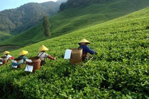 plantació de tè