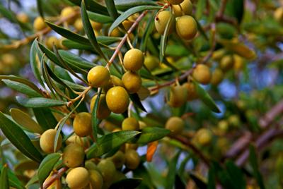 Olives de la Finca Les Teixeres. Oleum Flumen