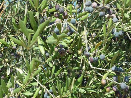 foto Orgànicfruit: l'oli ecològic ple de matisos i sensualitat - 1
