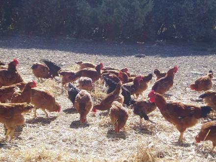 foto Torre d'Erbull: pollastres envoltats de natura - 2