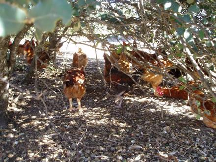 foto Torre d'Erbull: pollastres envoltats de natura - 3