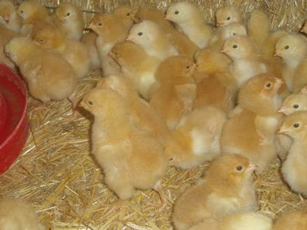 foto Torre d'Erbull: pollastres envoltats de natura - 4