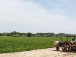 Estany de Pals: arròs assecat al caliu del sol