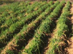 Ecocalçots: agroecològics per convicció