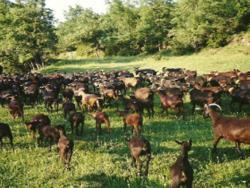 Puigcerver: l'aposta pel formatge de cabra ecològic