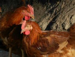 Cal Roio: pollastre agroecològic al Berguedà