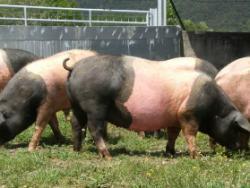 Granja Ramonich: carn de porc excel·lent i lliure d'agrotòxics
