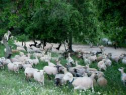 Can Terrades: pasturant entre boscúries centenàries