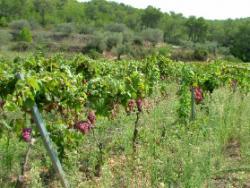 Sicus: l'harmonia ancestral dels vins monovarietals