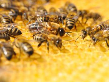 El món de les abelles: pol•linitzadores en crisi