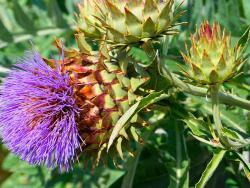 7 plantes que ajuden en les funcions hepàtiques i digestives