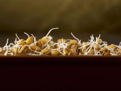 Cereals germinats: Sis coses que cal saber