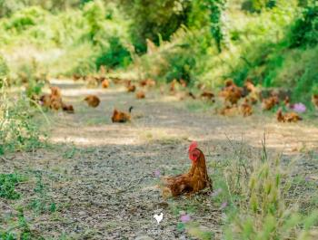 5 raons per passar-vos al pollastre ecològic