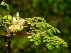 L'arbre de l'oli de ben, l'arbre de la vida
