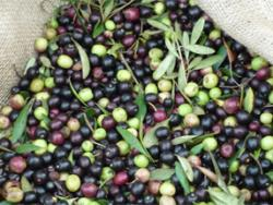 Orgànicfruit: l'oli ecològic ple de matisos i sensualitat