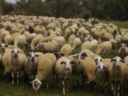 Mas Marcè: el cicle tancat de l'ovella ripollesa