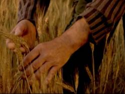 Tritordeum: un cereal sostenible per a tothom